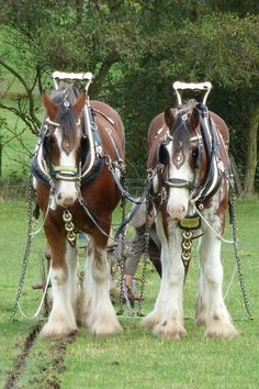 These magnificent Shire horses enjoy a well-deserved break after a morning's ploughing.