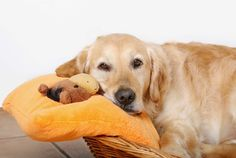 Psychological pregnancy in dogs is very common in recent years, as its duration is spreading. Bitches mate several times, and sperm can survive for up to seven days in the female genital tract, so the dog almost always conceives. After the zeal are triggered in the dog a series of unique processes, which does not …