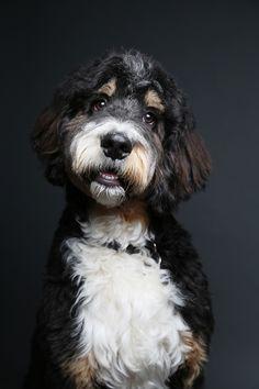 #Bernedoodle. My Rothko :) Bernadoodle Puppy, Puppys, Girls Best Friend, Doggies, Fur Babies, Moose, Cute Dogs, Bb, Hair Cuts