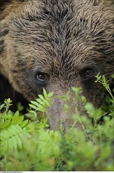Brown bear - You looking at me, yeah you, you looking at me!