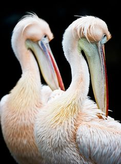 Two Great White Pelicans clean their plumage in their enclosure in the Frankfurt Zoo, Germany.  Picture: Nicolas Armer/AP