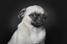 Distinguished, serious pug giving you stink eye. If this were my pug I'd frame a huge version of this and place it over a fireplace or at the bottom of a stairwell. Pug is disgusted with your stink. Pug Love, I Love Dogs, Funny Pug Pictures, Raza Pug, Animals And Pets, Cute Animals, Pugs And Kisses, Dog Poses, Cute Pugs