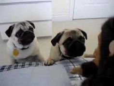 Humorous pugs having a fight with the monkey..