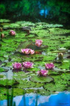 74 Best Lotus Flowers Lily Pads Images Lotus Flower Lotus