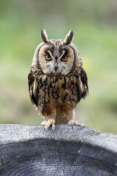 LEO (long-eared owl) | Megan Lorenz on 500px