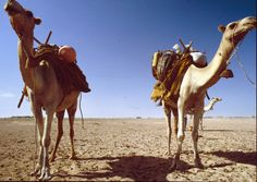 Somalia #1980s Camel's are a national treasure. Through wars and peace, they've always been there. Very resilient and resourceful animals.