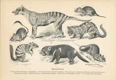 Your place to buy and sell all things handmade Antique Prints, Vintage Prints, Animal Art Prints, Tasmanian Devil, Australian Animals, Old Antiques, Mammals, Moose Art, Etsy