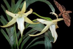 Angraecum sesquipedale and Xanthopan morganii praedicta Butterflies, Insects, Plants, How To Make, Google, Vintage Perfume, Flowers, Butterfly, Bow Ties