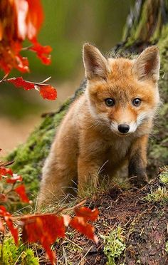 Fall fox cub ~ Autumn Colors ~