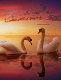 Swan Love, Beautiful Swan, Beautiful Birds, Beautiful Images, Animals Beautiful, Scary Animals, Animals And Pets, Cute Animals, Swan Pictures