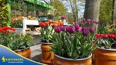 Kiepenkerl - Das Tulpenmeer