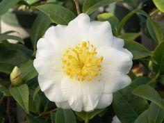 Silver Waves Camellia - Monrovia - Silver Waves Camellia