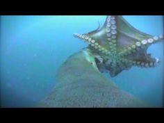 Mimic octopus pretending to be a flatfish - Conservation International (CI) - YouTube