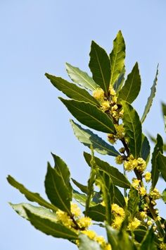 Loureiro (louro). Nome científico: Laurus nobilis. Família: Lauraceae. Cultivo: árvore com até 12 metros de altura, o loureiro se desenvolve bem em qualquer solo moderadamente fértil, bem-drenado (ou seco) e em locais sombreados. A propagação pode ser feita por sementes e é uma planta resistente a pragas e doenças. A poda deve ser realizada nos ramos meio maduros entre julho e agosto e, novamente, após seis meses.  Fotografia: Getty Images.