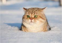 cute fat cat in snow