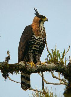 Ornate Hawk-Eagle   Such a beautiful bird of prey!
