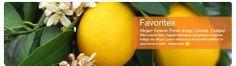 Dwarf Citrus Trees, Meyer Lemon, Kieffer Lime, Oranges – Order Online – Four Winds Growers - lemon tree as a household plant!