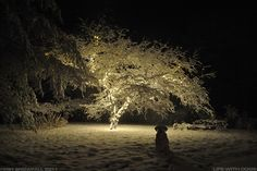 Christmas Tree Light in Snow | christmas lights, tree, snow, and dog | Dogs are great!!!