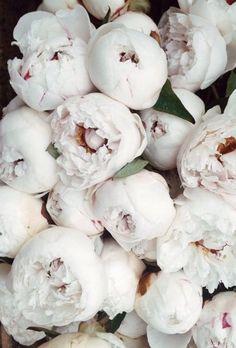 peonies and petals My Flower, Pretty Flowers, Pink Flowers, Summer Flowers, Peonies And Hydrangeas, White Peonies, Coral Peonies, Beautiful Flowers Wallpapers, No Rain