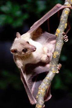 Egyptian fruit bat   Oregon Zoo