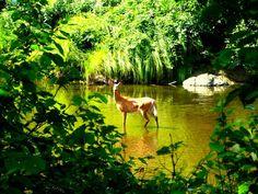 Trout Brook deer - Baxter State Park Maine