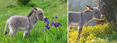 Donkey Smelling Flowers