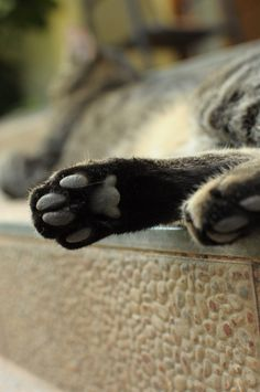 cat foot Paws And Claws, Cat Boarding, Cat Paws, Kitty, Cats, Blog, Animals, Gatos, Animales