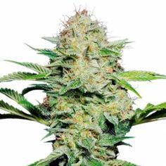 Недорого семена конопли семена марихуаны купить оптом