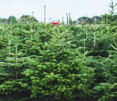 Der charmante Leander ist eine echte Nordmanntanne. Er wächst in einer Baumschule in Schleswig-Holstein.
