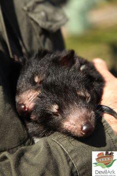 Tasmanian devil joeys @ Devil Ark - Midnight and Lloyd