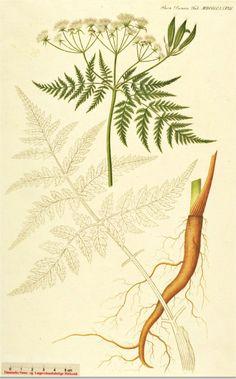 Roomse kervel - Myrrhis odorata
