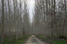 Casale Monferrato in AL lungo il Po. Chilometri di pioppeti artificiali per un paesaggio surreale