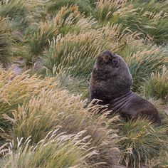 Insta / natgeo: Photograph by @paulnicklen for @natgeo // A southern sea lion rests away from the sea lion breeding colony in the Falkland Islands.  This big bull will someday have his chance to breed but for now he knows his place in the world and is not yet dominant enough to battle other males and win over a harem.  #thinblueline #marine #MPA #10by2020 #wildlife #gratitude #explore #nature #smile #love #beauty #adventure #travel @natgeocreative @thephotosociety #instagood #tbt #follow…