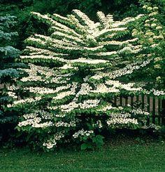 Viburnum Mariesii | Viburnum_mariesii.jpg
