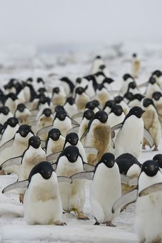 fckyeah-penguins: Adelie Penguins by pointblueconsci on Flickr.