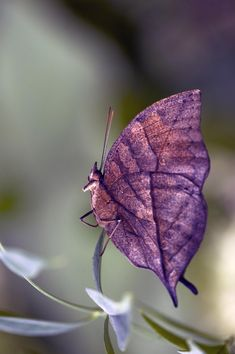 ♀ Bokeh photography Purple wing insects The Dead Leaf Butterfly by *Glenn0o7 on deviantART