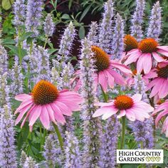 This Purple Coneflower is the unhybridized variety of this popular native wildflowers, like you would find in nature, The large center cone is surrounded by pink-purple petals and brighten the garden in mid-summer.