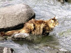 A Norwegian forest kitty :)    Wegies are known to like water, believed to have fished in lakes and streams in their native homeland.