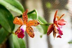 http://us.123rf.com/400wm/400/400/invisiblev/invisiblev0902/invisiblev090200367/4389405-dos-hermosas-orquideas-tigre-naranja.jpg