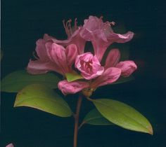 02955 Rhododendron aglo 800   Flickr - Photo Sharing!