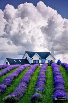 I love lavender—both the color and the smell ... and the sound (be quiet so you can hear it) ...