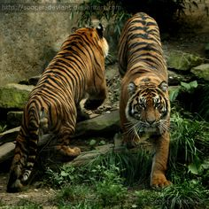 Coming or going? List Of Animals, Animals And Pets, Baby Animals, Cute Animals, Big Cats, Cool Cats, Cats And Kittens, Pet Tiger, Tiger Art