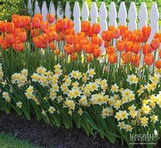 Tulipano variet/Ã/ miste Tulip Bulbi fioritura primaverile Bulbi Piante Perenni Portal Cool 50