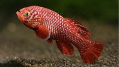Tiny fish that live in temporary puddles in Africa reach sexual maturity faster than any other animal with a backbone, say scientists.  One of the studied species of killifish (Nothobranchius kadleci) started to reproduce at the age of 17 days.  Researchers found that some eggs reached hatching stage in 15 days meaning they also have the shortest minimum generation time in vertebrates.