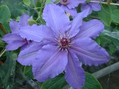 'Parisienne' from Raymond Evisons patio collection (the boulevard collection) launched at Chelsea Flower show 2015, these are low growing climbing clematis that are ideal for pots on the patio. Plant in any aspect, very long flowering period May to Oct. Prune hard.