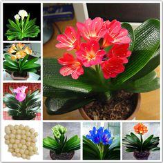 1 개 실제 clivia 씨앗 식물 분재 정원 꽃 씨앗 semente 장식 꽃 새해 선물