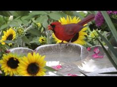 Northern Cardinals taking a bath. Birds at the feeder, butterflies, bees & sunflowers. Northern Cardinal, Cat Supplies, Bird Pictures, Flower Beds, Bird Watching, Beautiful Birds, Beautiful Things, Bird Feathers, Birds In Flight