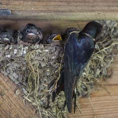 Zwaluw en nest, Swallow and nest, Lauwersmeer, The Netherlands   photo alicebrandt