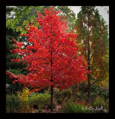 Nyssa sylvatica (black gum) tree with brilliant red leaves. I want one since it has really strong wood that wouldn't break as easily as some other trees.