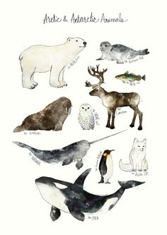 Arctic and antarctic animals als premium poster von amy hamilton juniqe best baby animals ilustration woodland creatures ideas baby Arctic Animals, Cute Animals, Arctic Fox, Watercolor Animals, Watercolor Paintings, Artist Painting, Watercolour, Animal Drawings, Art Drawings
